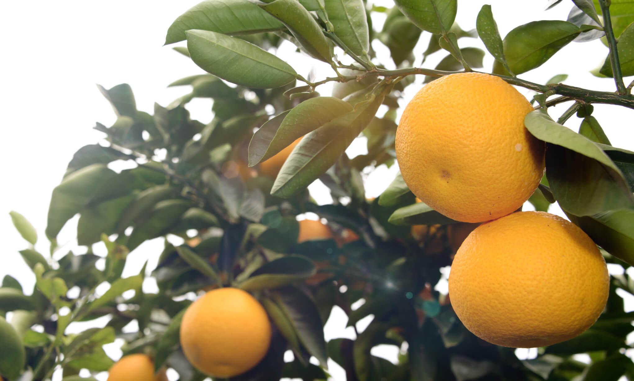 一部の柑橘類の果皮に含まれるオーラプテンには様々な効能が